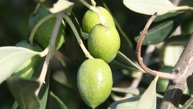 10-oblica Egzotično bilje - Ukrasno bilje