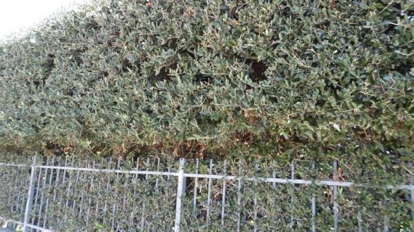 cipressino1 Egzotično bilje - Ukrasno bilje