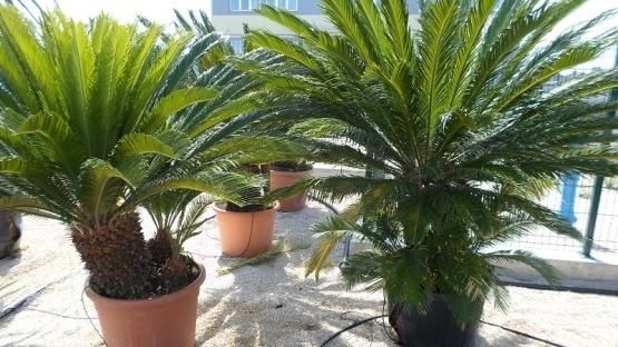 cycas-palme-velike Maslina Leccino