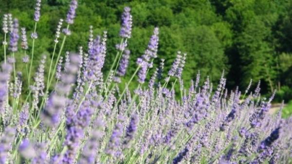 lavanda Egzotično bilje - Ukrasno bilje