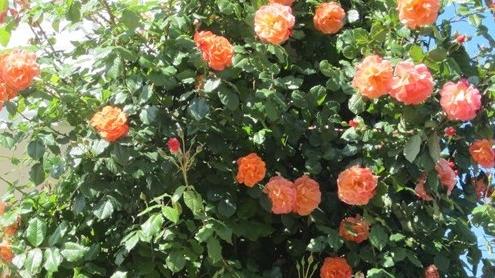 rua-penjaica Egzotično bilje - Ukrasno bilje